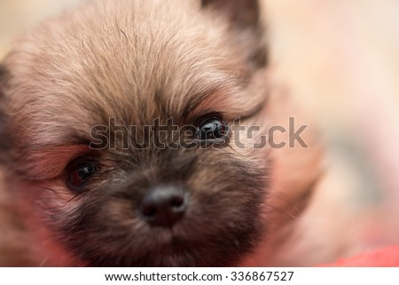 Pomeranian puppy 1 month old portrait.  - stock photo