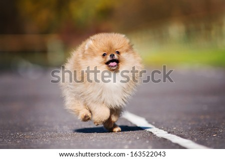 Pomeranian puppy on autumn walk - stock photo