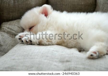 Pomeranian puppy sleeping in the dog-bed. horizontal - stock photo