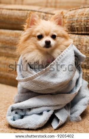 Pomeranian puppy wrapped in a terry towel. - stock photo