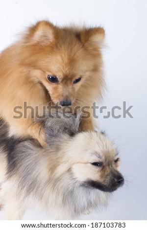 Pomeranian show champion dog, on white background - stock photo