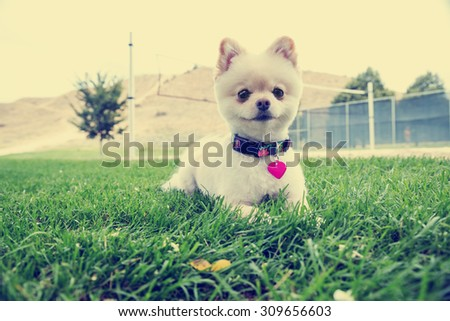 pomeranian sitting in the grass starring with a shallow depth of field with an instagram filter - stock photo
