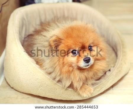 pomeranian spitz dog on its bed - stock photo