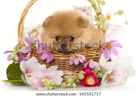 pomeranian spitz puppies and flowers  - stock photo