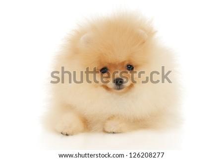Pomeranian Spitz puppy on a white background - stock photo