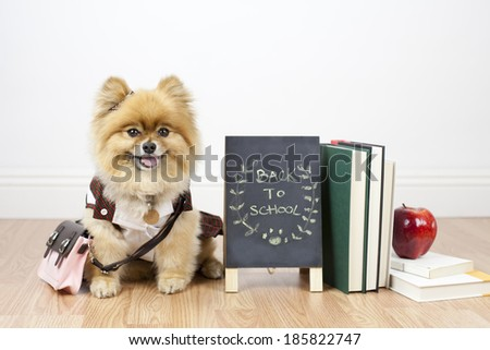 Pomeranian student sitting next to books and apple with chalkboard back to school - stock photo
