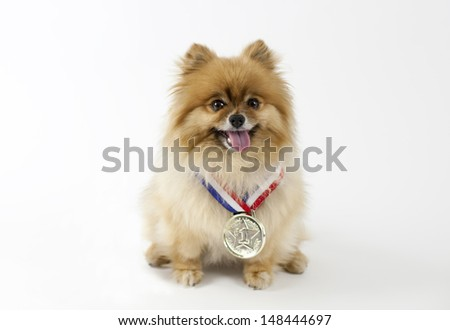 Pomeranian wearing a gold medal Number one - stock photo