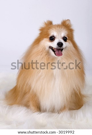 Pomeranian with one ear back - stock photo