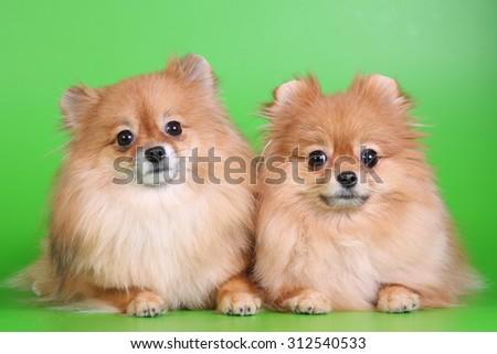 Pomeranians - stock photo