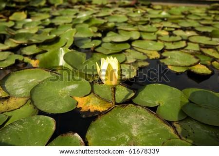 pond lily - stock photo