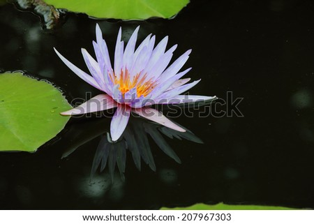 pond scenery with water lilly, Waterlily in garden pond. - stock photo