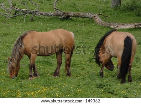 Ponies at Play - stock photo