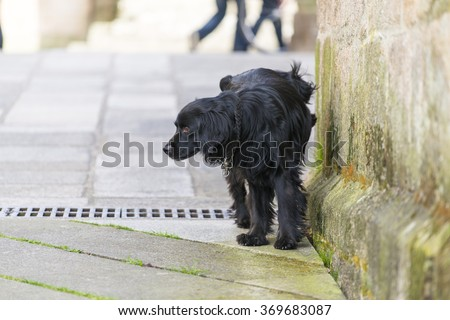 PONTEVEDRA, SPAIN - APRIL 2, 2015: A black dog urinating on a wall in one of the streets in the historic town. - stock photo