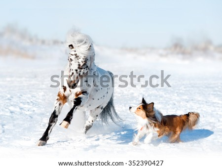 pony appaloosa with border collie have fun in snow - stock photo