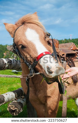 Pony eating grass from child hand - stock photo