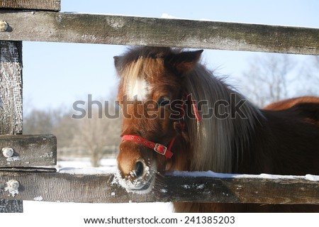 Pony looking out of the winter corral rural scene - stock photo