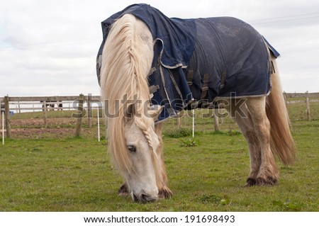 Pony with sweet itch, wearing a blue fly rug for protection against flies  - stock photo