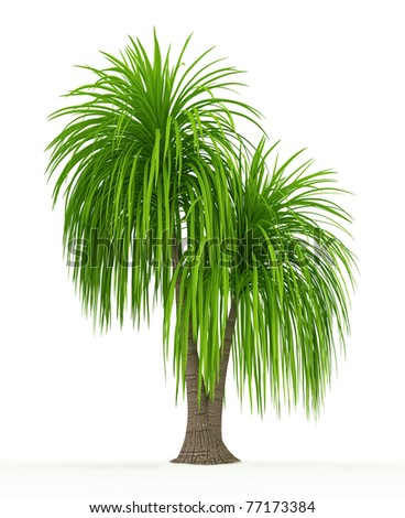 Ponytail palm isolated over white - stock photo