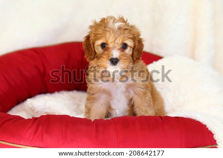 Poodle and Cavalier King Charles Spaniel mix (commonly called a Cava-Poo) puppy sitting on doggy bed - stock photo