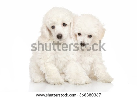 Poodle puppies on white background - stock photo