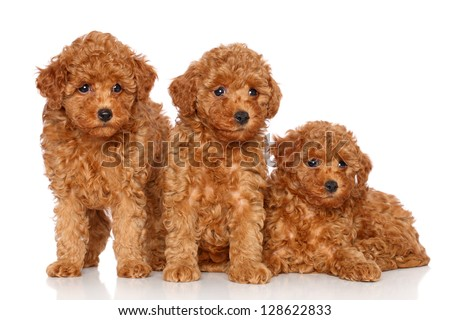 Poodle puppies posing on a white background - stock photo