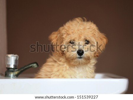 Poodle Puppy in tub - stock photo