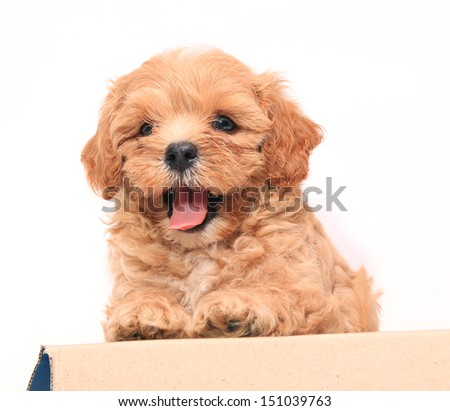 Poodle Puppy on white background - stock photo