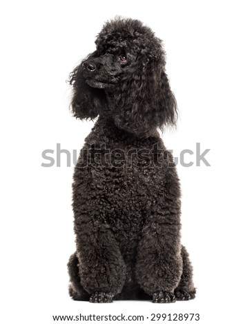 Poodle sitting in front of a white background - stock photo