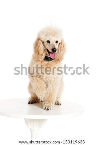 Poodle sitting on the table on white background - stock photo