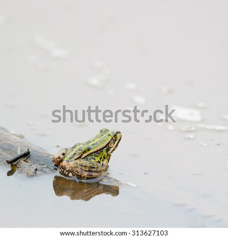 Pool frog in nature water - stock photo