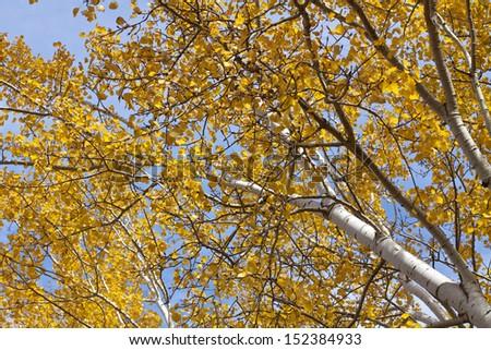 Poplar Autumn - stock photo