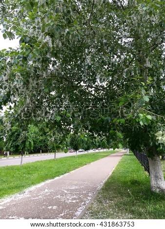 Poplar tree seeds, allergy source - stock photo