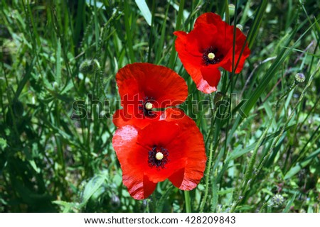 Poppies among the grass - stock photo
