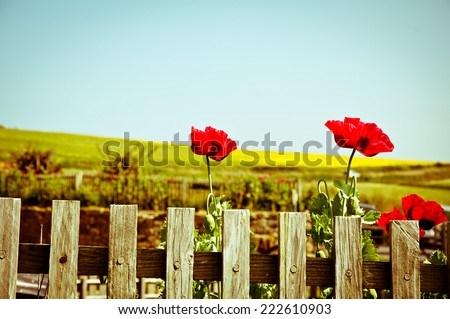 Poppies and a wood fence - stock photo