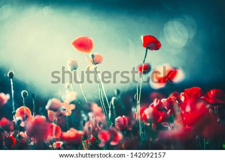 Poppies at night - stock photo