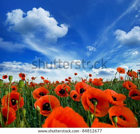 poppies blooming in the wild meadow high in the mountains - stock photo