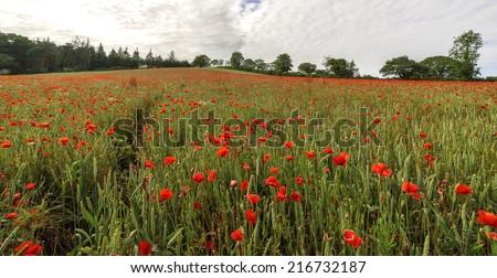Poppies cascading down a Devonshire hillside. - stock photo
