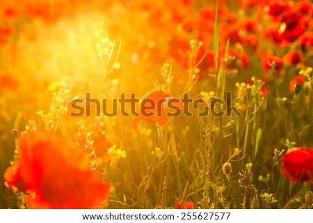 Poppies field meadow in summer in Hungary - stock photo