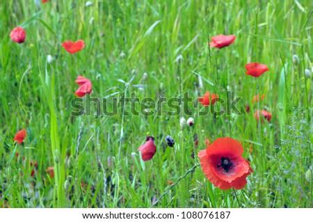 Poppies in field near Blakeney in Norfolk - stock photo