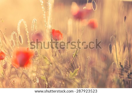 Poppies in summer nature field with bright golden light/summer background/spring background - stock photo