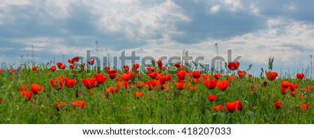 poppies in the field - stock photo