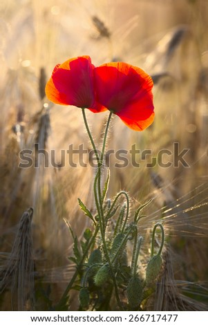 Poppies in wheat field against the sun - stock photo