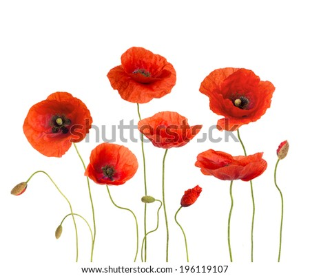 Poppies isolated on white background - stock photo