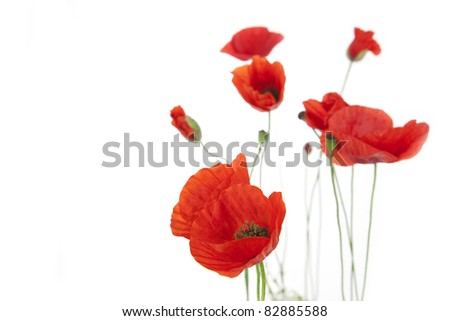 Poppies isolated on white background / focus on the foreground / floral border with copy space - stock photo