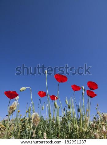 Poppies, Turkey - stock photo