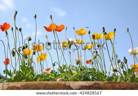 poppies under sunny sky - stock photo