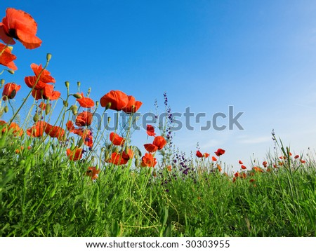 Poppy - stock photo