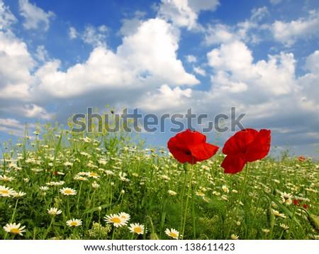 poppy and wild flowers - stock photo
