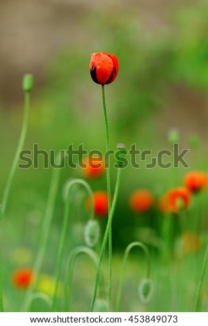 poppy Bud on a green background in a field of poppies. - stock photo