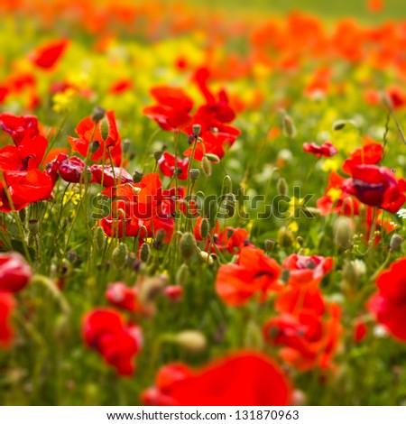 Poppy Field in Spring - stock photo